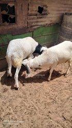 Mouton tabaski