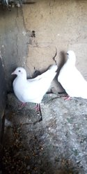 Pigeon Monday