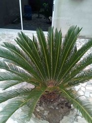 Palmier sycasse