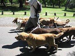 Demande d'emploi - promeneur de chien