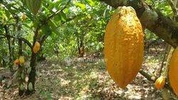Vente plantation de cacao - Toumodi