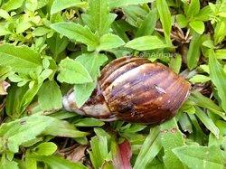 Escargot Achatina Fulica