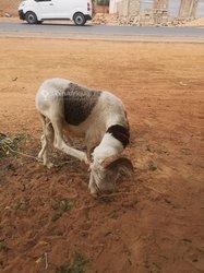 Mouton métisse Ladoum - Azawatte