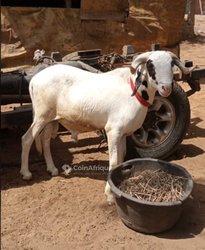 Mouton de tabaski