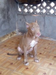 Chiot mâle american bully champagne