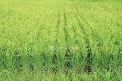 Terrain agrocole 30 ha - Orodara