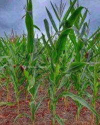 Terrain agricole - Saaba