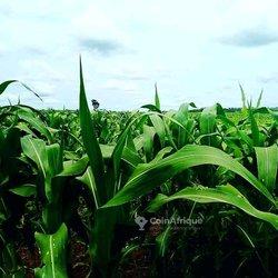 Terrain agricole - Agbelouvé