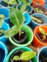Plants de bananes