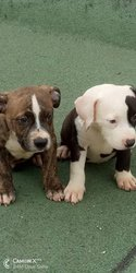 Chiots American Bully
