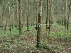 Terrains agricoles 11 ha - Cocody