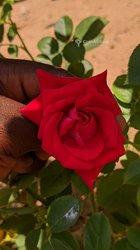 Rose naturelle