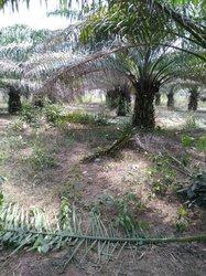 Vente plantation noix de palme 10 ha - Djakotomey
