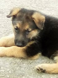 Chiots Berge Allemand
