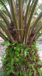 Vente plantation de palmiers à huile - Abidjan