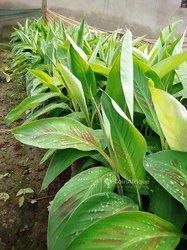 Rejets de bananiers plantains