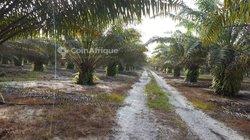 Vente plantation palmiers 104 ha  - Grand-bassam
