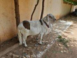 Mouton soudanais